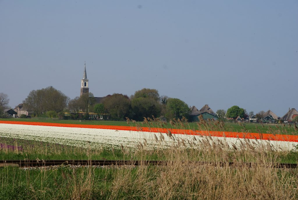 Westfries landschap met bollenveld en kerktoren