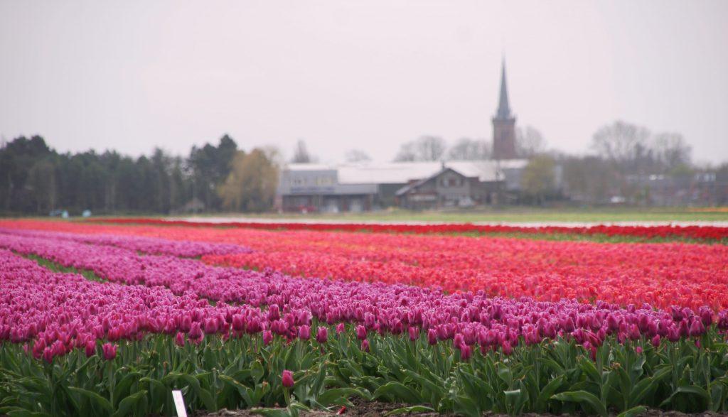 Tulpenveld in Drechterland